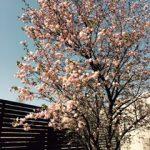 桜、きれいに咲きました