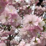 ようやく札幌でも桜が満開になりましたね。